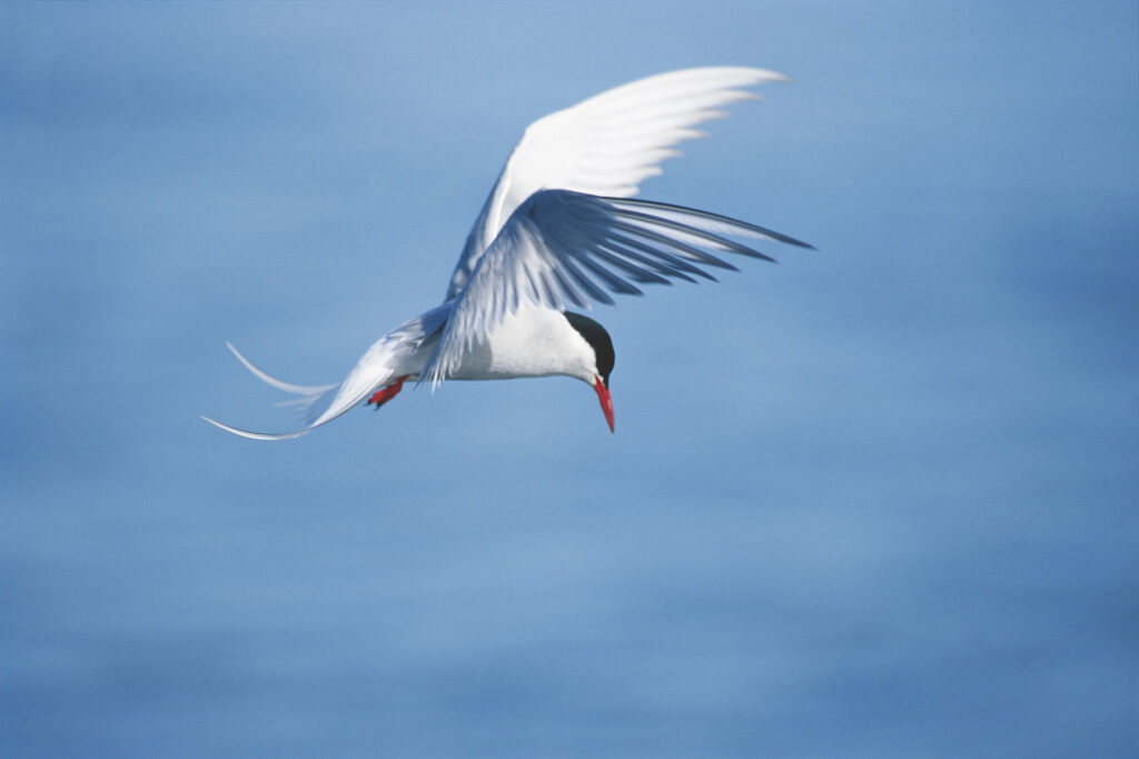 Which Migratory Bird Travels The Farthest